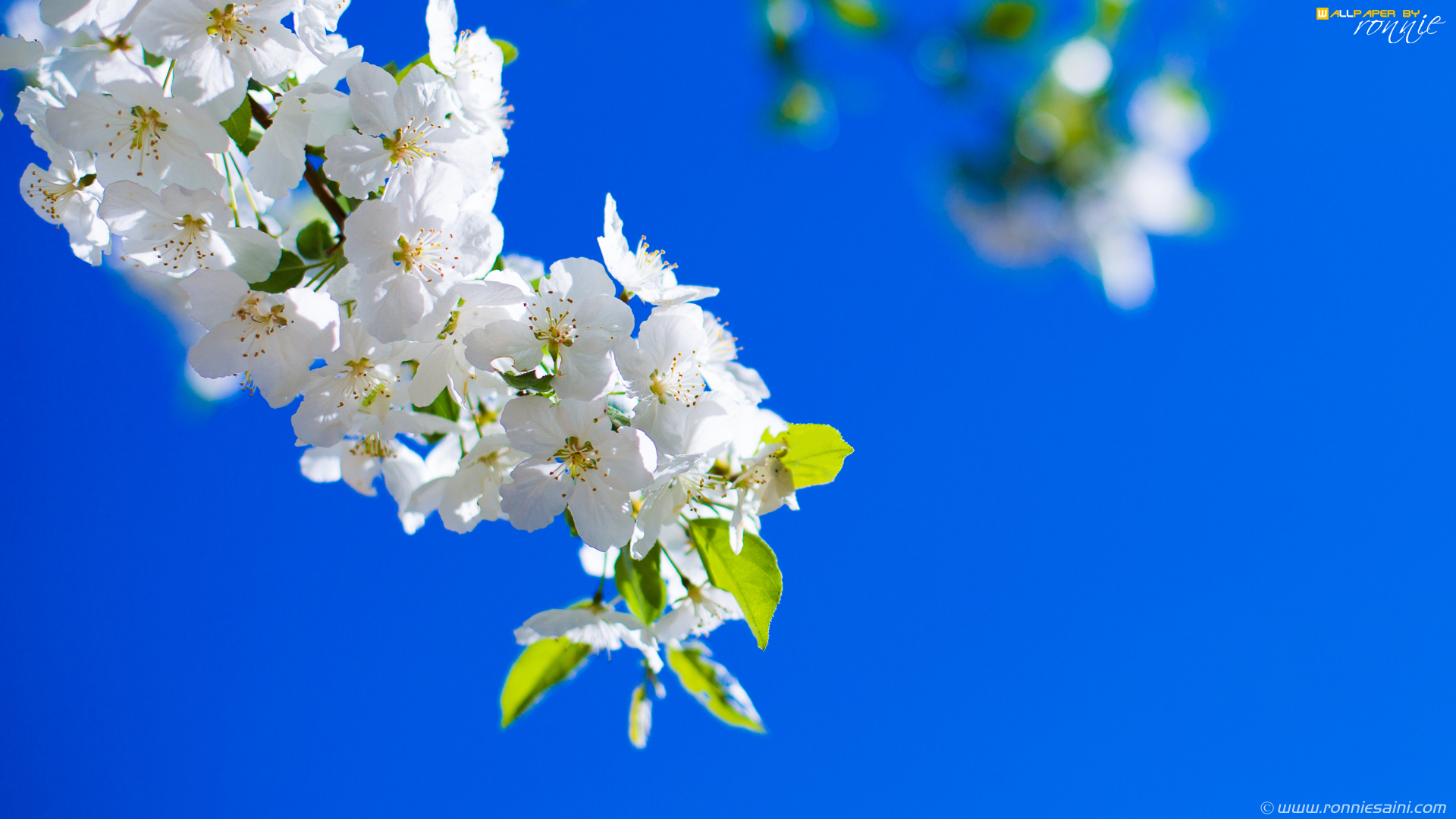 Cherry Blossom Hd 1920 X 1080